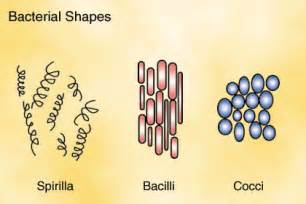 shape of bacterial dna picture 13