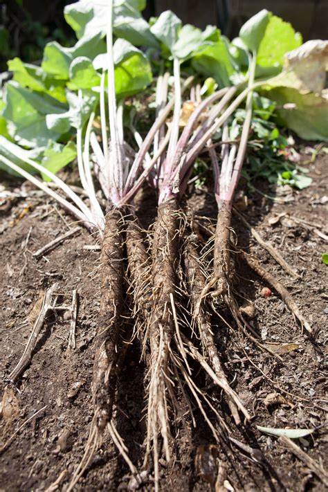 Burdock Root picture 1