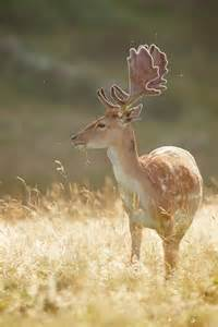 where can i buy deer penis picture 17