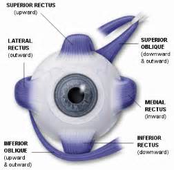 eye muscle picture 5