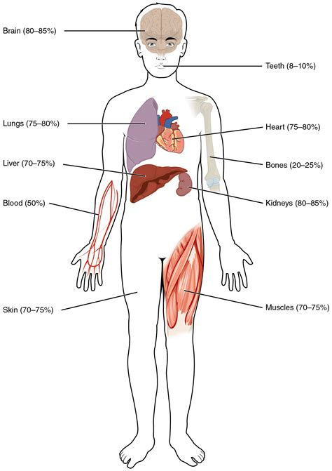 the human liver is composed of how much picture 5