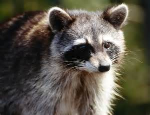 does a racoon sleep in a tree picture 15