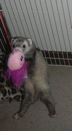 my ferret sleep all the time picture 2
