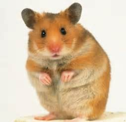 short hair hamsters picture 7