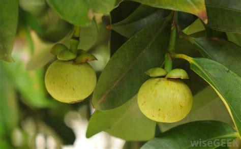 garcinia cambogia tree picture 6