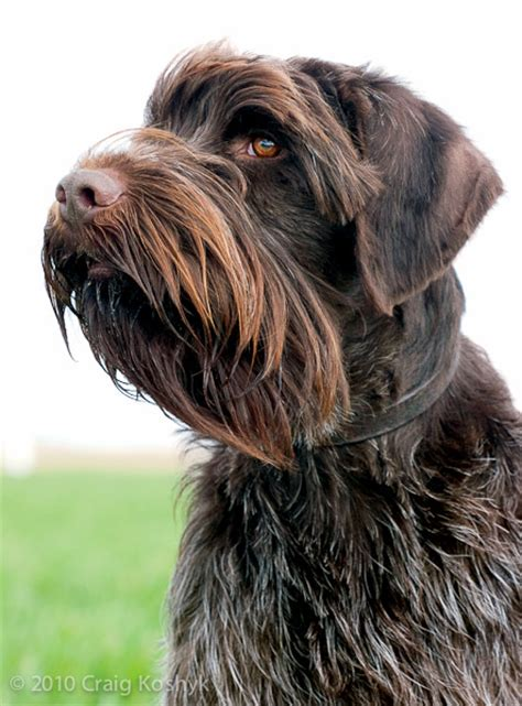 wire hair pointing griffon picture 7