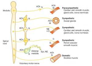 alpha receptors and skeletal muscle picture 6