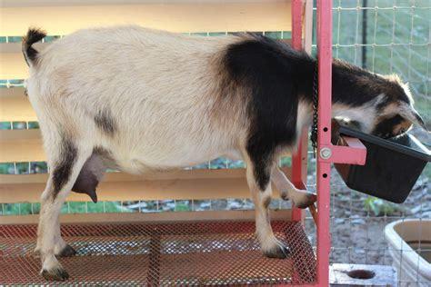 goats prefer probiotic power picture 3