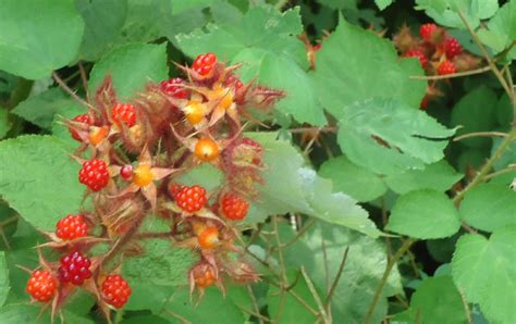 wild red raspberries picture 1