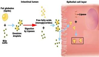 digestion of fat by lipase experiement picture 10