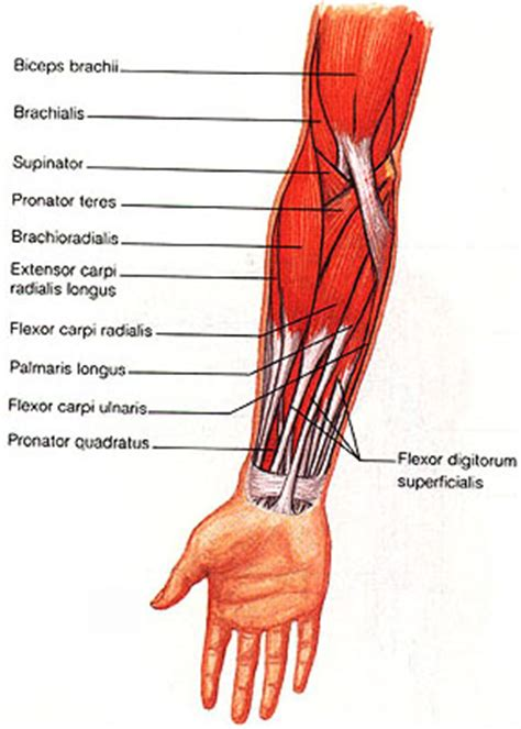 flex carpi radialis muscle picture 5