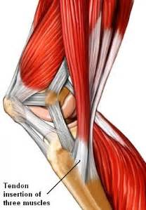 meniscus muscle picture 1