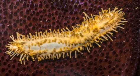 stiff footed sea cucumber skin picture 2