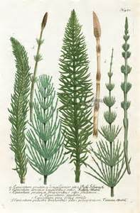 search : wikipedia for horsetail herb picture 2