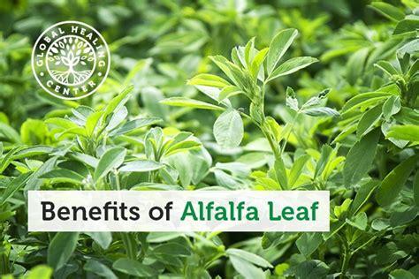 alfalfa leaf health benefit's picture 9