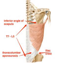 latissimus dorsi muscle picture 3