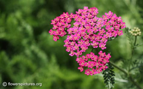 Yarrow Flower picture 3