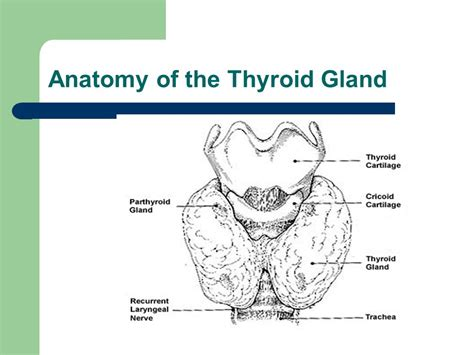 anatomy of thyroid gland picture 6