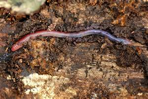 formicophilia, worm in penis picture 10