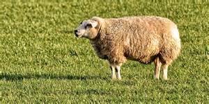smoke mouton picture 5