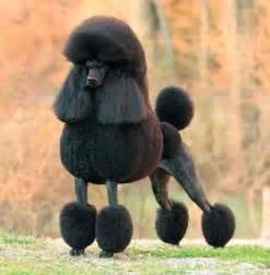 poodles h picture 17