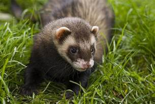ferret digestion picture 9