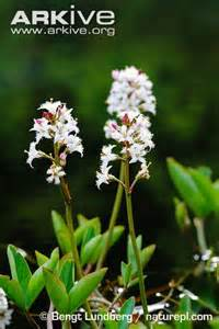 buy bogbean picture 7