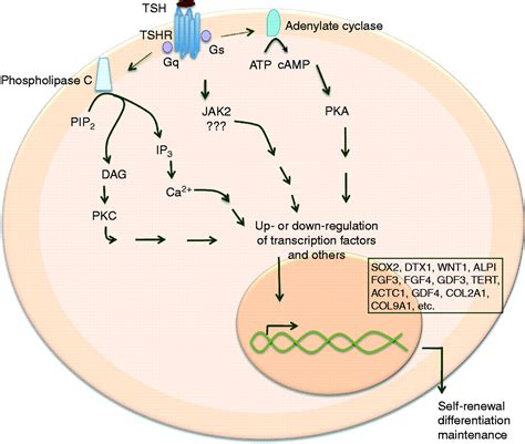 what is tsh thyroid stimulating hormone picture 8