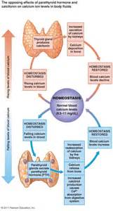 endocrinology parathyroid picture 3