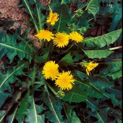 dandelion leaves picture 14
