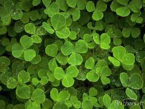 clover picture 10