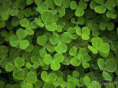 clover picture 9
