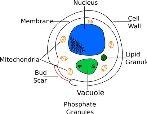 yeast cell picture 6