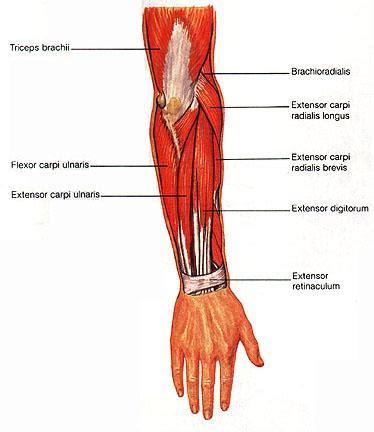 flexor carpi radialis muscle picture 5