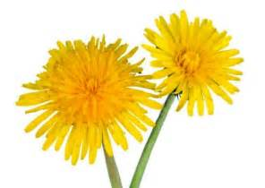 dandelion facts picture 6
