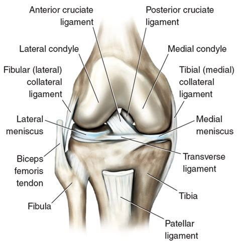 anatomy of a knee joint pictures and labels picture 14