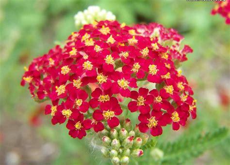 yarrow flower picture 9