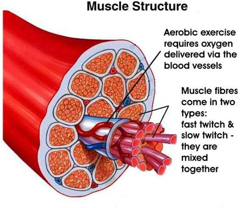 fast twitch and slow muscle fibers picture 12