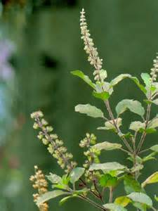 english, herbal plant picture 13