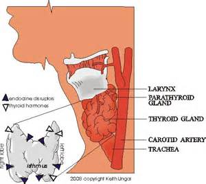 isthmus thyroid size picture 3