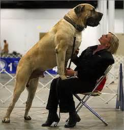 picture of mastiff big penis picture 7