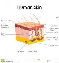 free images of human skin illustration picture 1