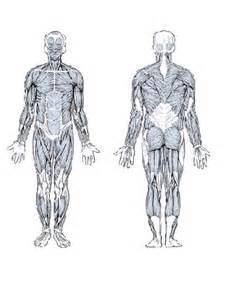 diagram of body muscle picture 9