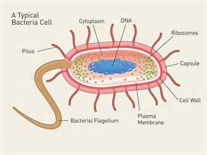 shape of bacterial dna picture 14