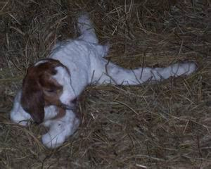 goat white muscle disease picture 14