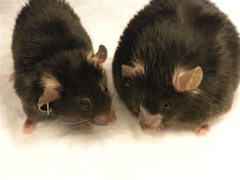 cholesterol studies in rats picture 18