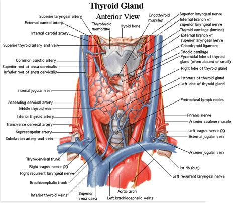 anatomy thyroid picture 2