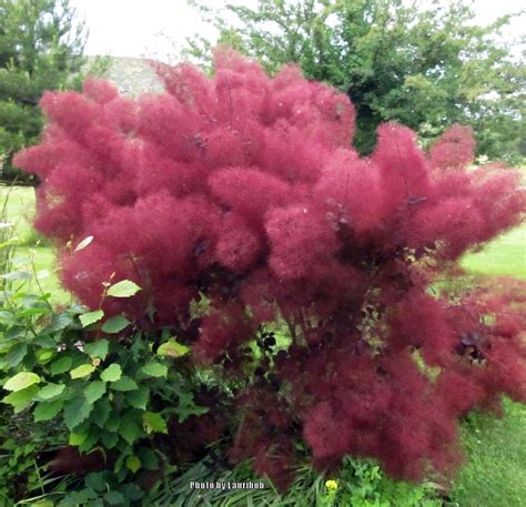 caring for my purple smoketree picture 7