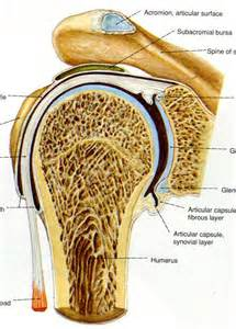 glenohumeral joint picture 2