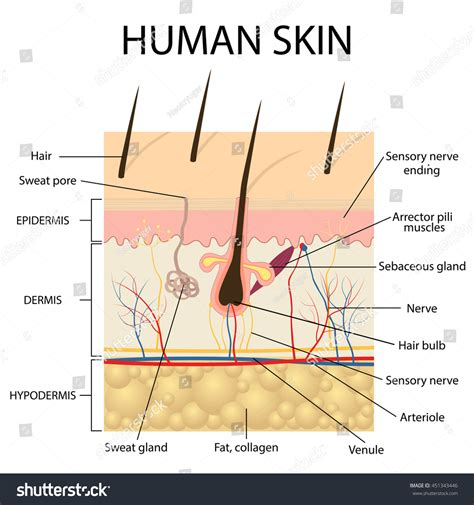 free images of human skin illustration picture 3